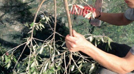 Raccolta delle olive con uso del pettine - Moiano (BN)