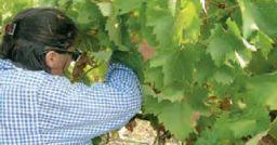 Il sovraccarico biomeccanico degli arti superiori nella coltivazione di uva